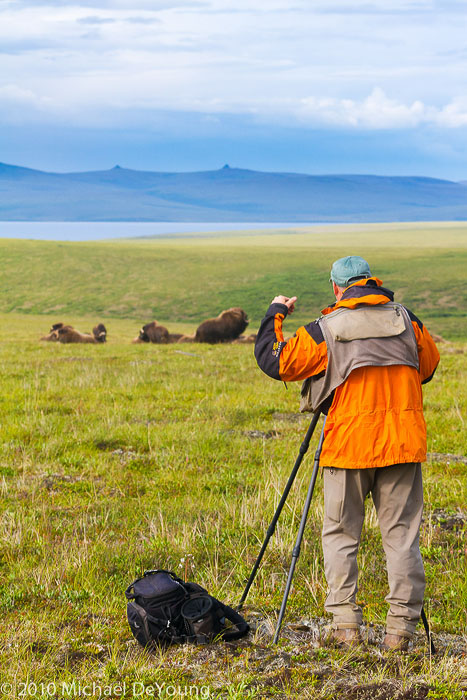 Male photographer photographing Musk Ox north of Nome, Alaska