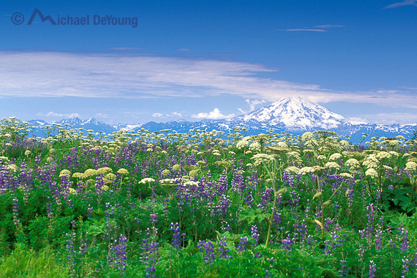 Alaska coastal landscape. Summer wildflowers of lupine and cow parsnip on bluff above Cook Inlet with Redoubt Volcano in background. View near Ninilchik, Alaska off the Sterling Highway.