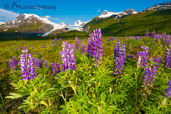 Alaska landscape. Meadow with lupine below the Worthington Glacier, Chugach Mountains, Chugach National Forest. Seen along the Richardson Highway near Thompson Pass.