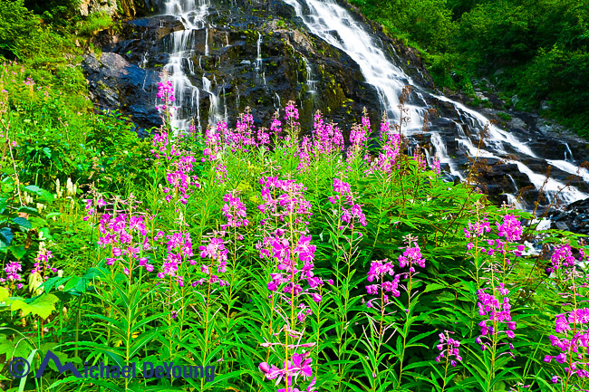 Alaska landscape. Fireweed below Bridal Veil Falls in Keystone Canyon, Chugach Mountains, seen off Richardson Highway near Valdez, Prince William Sound, Alaska