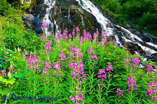 Alaska landscape. Fireweed below Bridal Veil Falls in Keystone Canyon, Chugach Mountains, seen off Richardson Highway near Valdez, Prince William Sound, Alaska