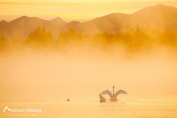 Swans in fog, Anchorage, Alaska