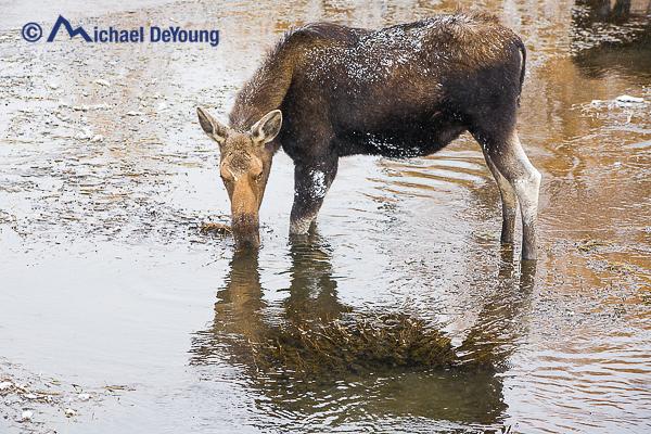 moose-in-river1