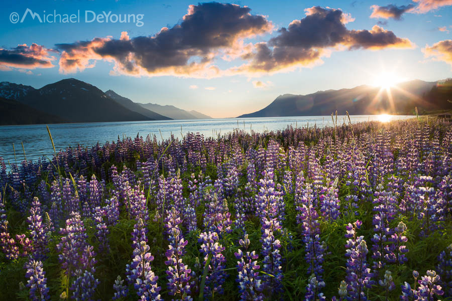 Lupine along Turnagain Arm at high tide at sunset, Southcentral Alaska