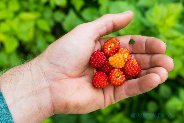 Gorging on salmonberries in avalanche chutes