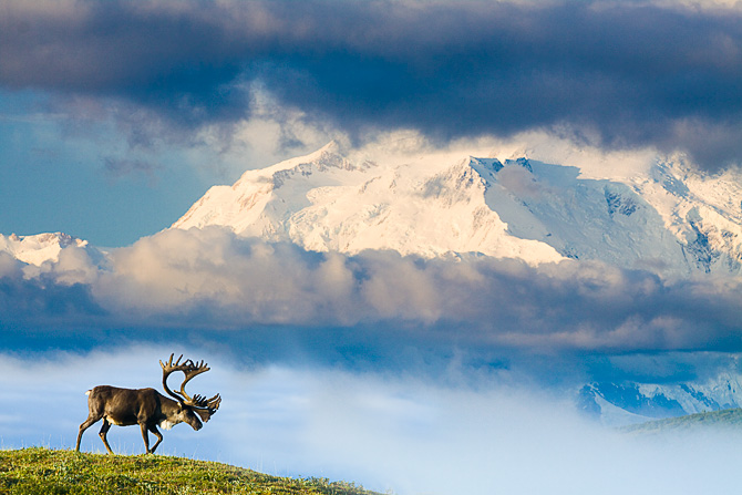 Caribou and Mt. McKinley - 1st Place winner in PDN's 2011 Great Outdoor Photo contest