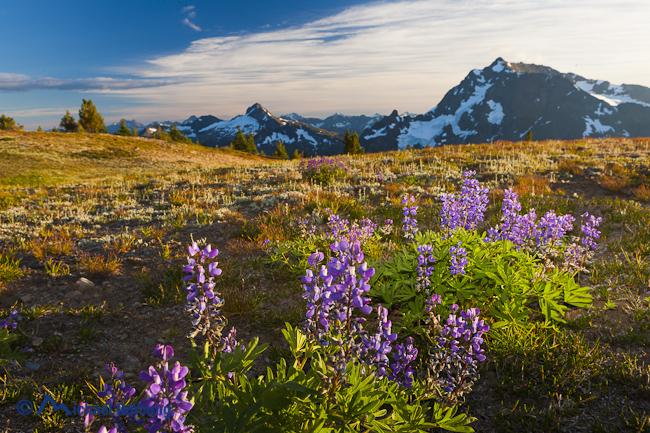 Landscape image of lupine still in bloom in September along Devil's Dome, Pasayten Wilderness, North Cascades, Washington