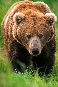 Close up of grizzly bear taken during an Alaska Great Photo Adventure